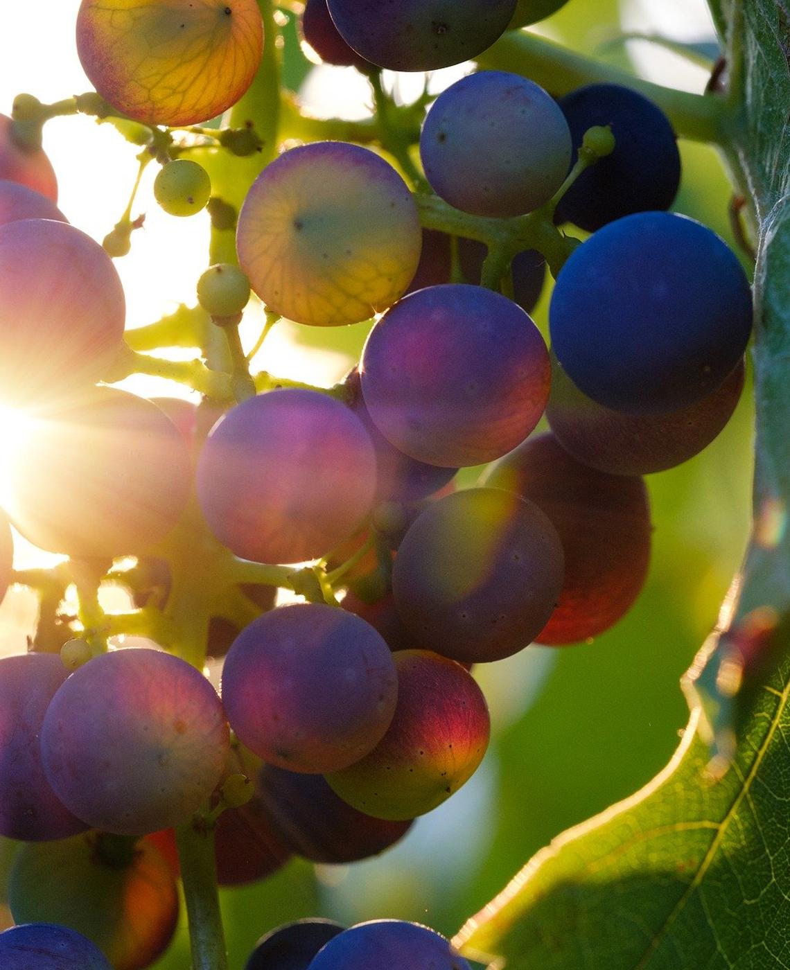 Grappe de raisins au soleil